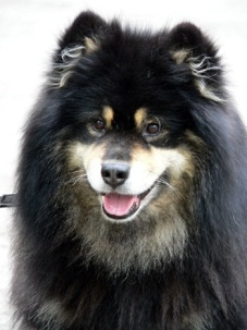 FIN WCH & FIN CH Lecibsin Kultakuono, the first Finnish Lapphund who has ever gained the title of Working Champion