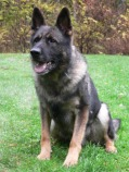 Reikon Code, one of our old German Shepherds
