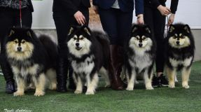 Kennel Peikkovuoren BIS1 BREEDER at the Lapphund Club of Finland main speciality show 2017